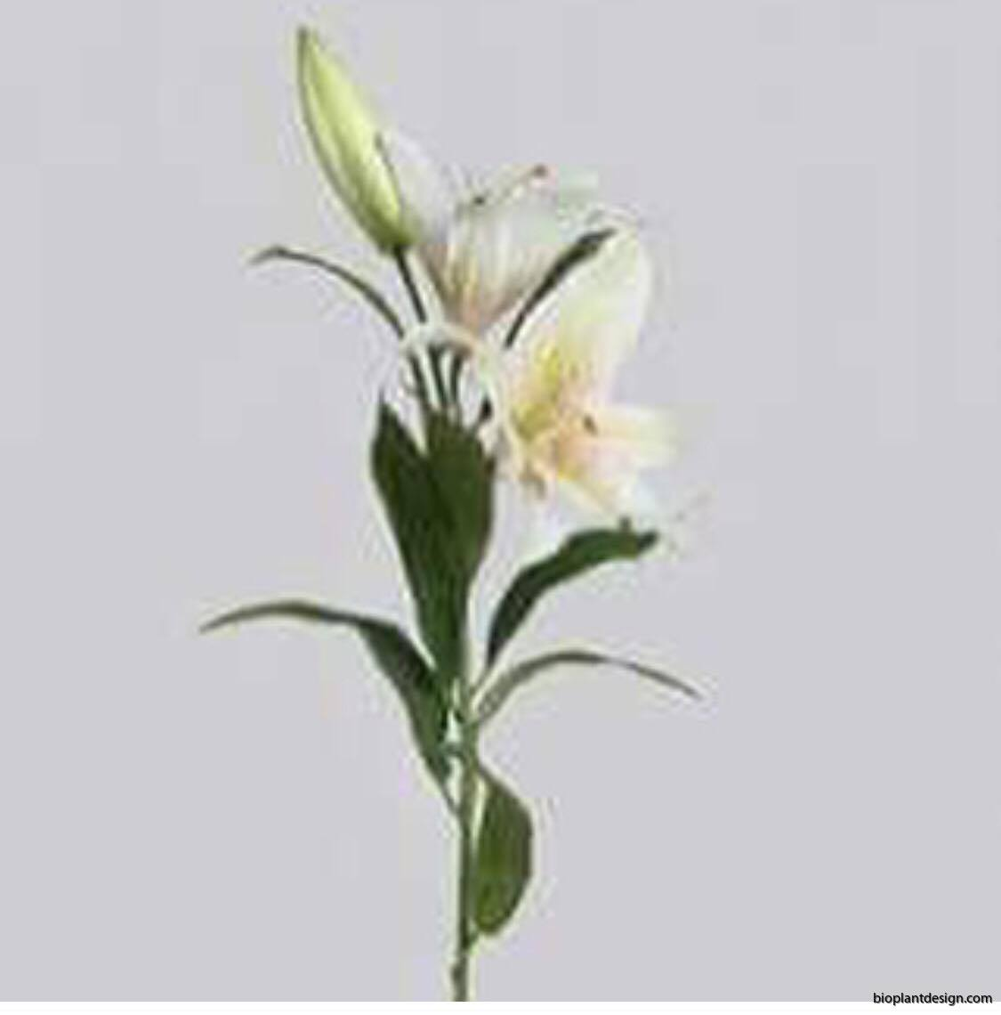 Lilja vit tiger 75 cm 6- pack