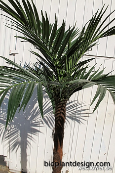 Areca stampalm 240cm.png blad