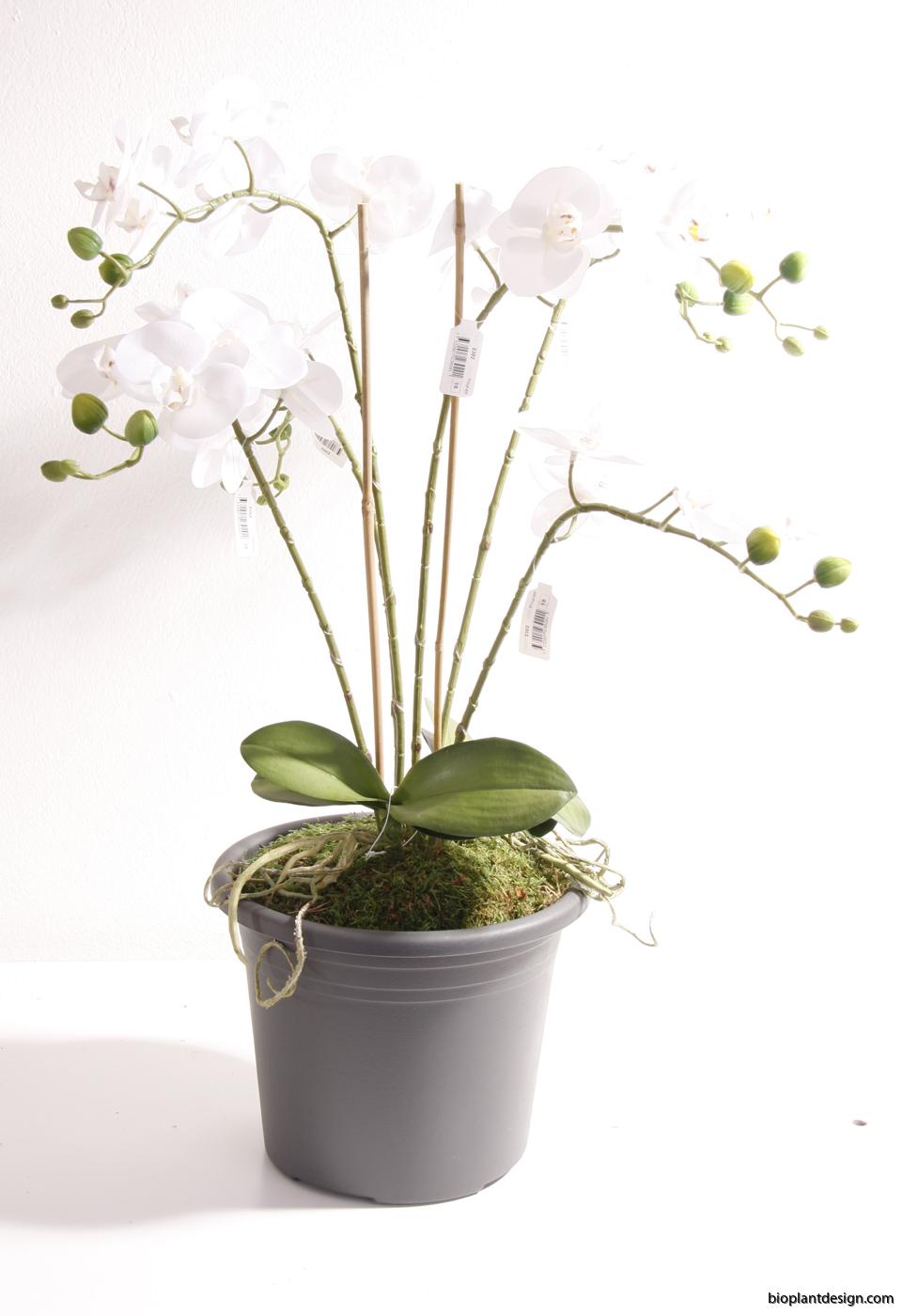 Färdig orkide