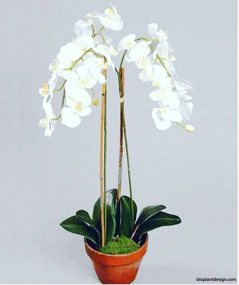 Phalaenopsis 75cm.png ny bild