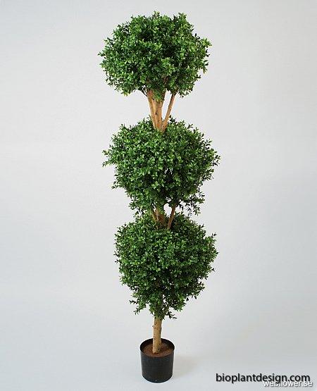 170 cm hög Boxwood buske