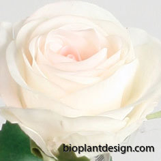 7128 rose cream pink
