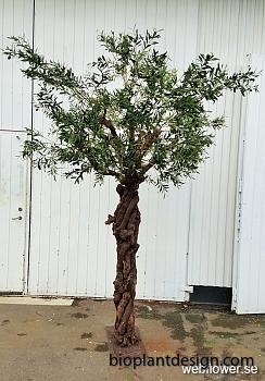 Olivträd med Grapewood stam 275 cm