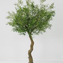 Olivträd 320 cm