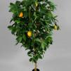 Apelsinträd Golden 170 cm - 2-Pack