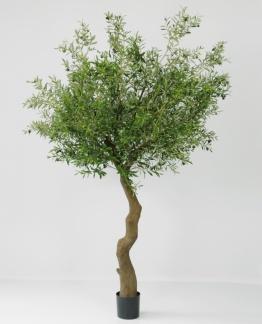Olivträd med slätstam 240 cm