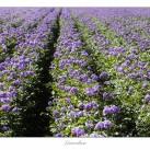 Larsviken Blommande potatisfält