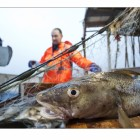 Torskfiske i Öresund.