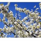 Körsbärsträd i full blom.