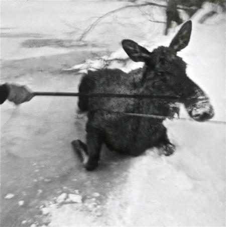 Räddning av älg ovanför dammen i Hån på 1960-talet. Foto: Maj Eriksson.