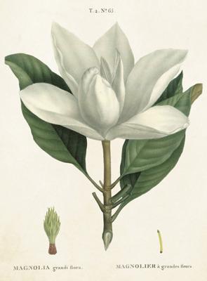 Poster vintage magnolia, 50x70 cm Sköna Ting - magnolia, 50x70 cm Sköna Ting