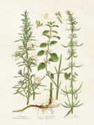 Poster vintage kryddväxter , 18x24 cm