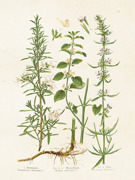 Poster vintage kryddväxter , 18x24 cm Sköna Ting