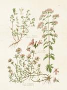 Poster vintage kryddväxter oregano och timjan, 18x24 cm Sköna Ting