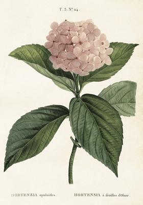 Poster vintage hortensia, 35x50 cm - Poster vintage hortensia