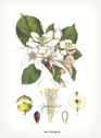 Kort med kuvert Vintage små dubbla - Små dubbla kort m kuvert botanique