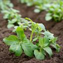 Organisk växtnäring