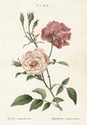 Poster vintage ros, 35x50 cm