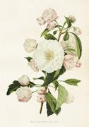 Poster vintage äppelblom, 35x50 cm