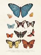 Poster vintage fjärilar, 18x24 cm Sköna Ting