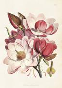 Poster vintage magnolia rosa, 50x70 cm