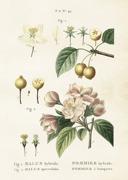Poster vintage äppelblom, 50x70 cm