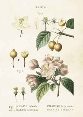 Poster vintage äppelblom, 50x70 cm Sköna Ting - Poster vintage äppelblom, 50x70 cm Sköna Ting