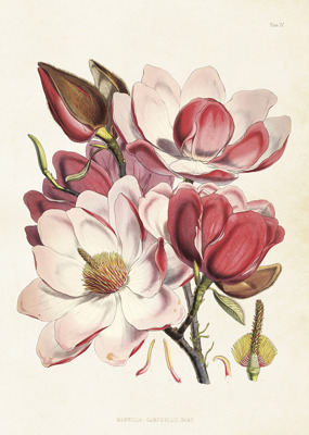 Poster vintage magnolia rosa, 50x70 cm Sköna Ting - Stor poster vintage magnolia rosa, 50x70 cm