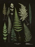Poster vintage ormbunksblad svart, 18x24 cm Sköna Ting