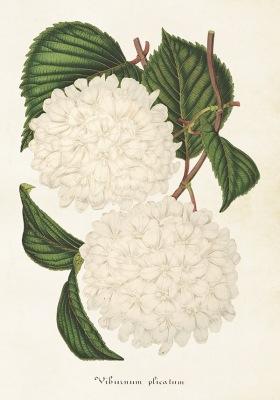 Poster vintage japansk snöbollsbuske, 35x50 cm Sköna Ting - Poster vintage japansk snöbollsbuske, 35x50 cm Sköna Ting