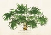 Poster vintage palm, 50x35 cm