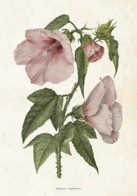 Poster vintage hibiscus, 35x50 cm Sköna Ting - Poster vintage hibiscus, 35x50 cm Sköna Ting