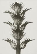 Art Print Blossfeldt, Acanthus Mollis, 70x 100 cm Sköna Ting