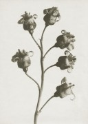 Art Print Blossfeldt, Ribes Nigrum ,50 x 70 cm Sköna Ting