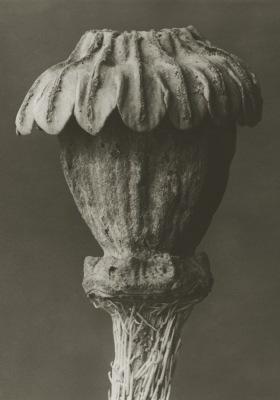 Art Print Blossfeldt, Papaver Orientale, 70x 100 cm Sköna Ting - Art Print Papaver Orientale 70 x 100 Sköna Ting