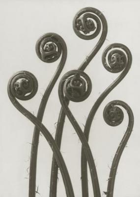 Art Print Blossfeldt, Adiantum Pedatum,50 x 70 cm Sköna Ting - Art Print Adiantum Pedatum 50x70 cm Sköna Ting