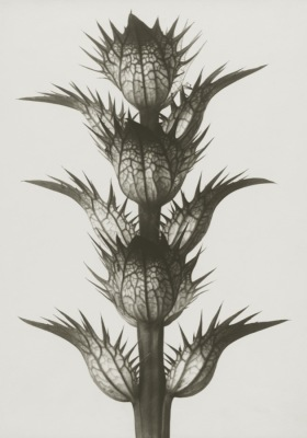 Art Print Blossfeldt, Acanthus Mollis, 70x 100 cm Sköna Ting Nyhet - Art Print Acanthus Mollis 70 x 100 Sköna Ting