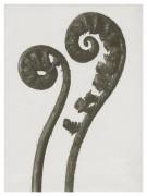 Art Print Blossfeldt, Dryopteris filix ,18 x 24 cm Sköna Ting