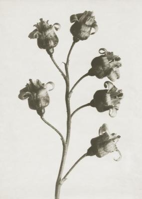 Art Print Blossfeldt, Ribes Nigrum ,18 x 24 cm Sköna Ting - Art Print Blossfeldt, Ribes Nigrum , 18 x 24 cm Sköna Ting