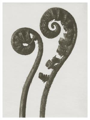 Art Print Blossfeldt, Dryopteris filix ,18 x 24 cm Sköna Ting Nyhet - Art Print Blossfeldt, Dryopteris filix , 18 x 24 cm Sköna Ting