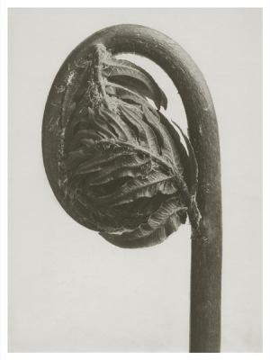 Art Print Blossfeldt, Osmunda regalis ,18 x 24 cm Sköna Ting - Art Print Blossfeldt, Osmunda regalis, 18 x 24 cm Sköna Ting