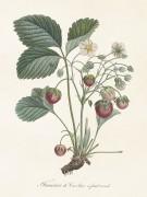 Poster vintage jordgubbe, 18x24 cm Sköna Ting NYHET