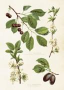 Poster vintage körsbär & plommon, 50x70 cm Sköna Ting NYHET