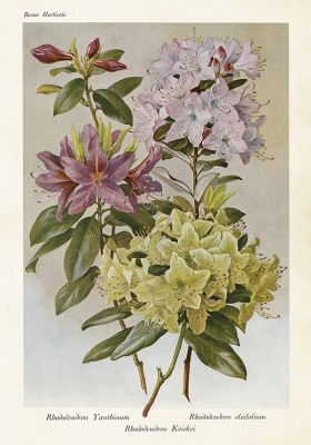 Poster vintage rhododendron, 35x50 cm Sköna Ting - Poster vintage rhododendron, 35x50 cm Sköna Ting