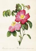 Poster vintage ros, 50*70 cm Sköna Ting