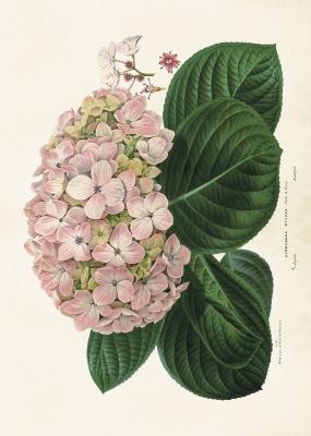 Poster vintage hortensia, 70*50 cm Sköna Ting - Poster vintage hortensia, 70*50 cm Sköna Ting