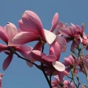 Magnolia ´Galaxy´