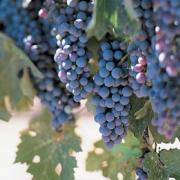 Blå Burgunder ´Pinot Noir´