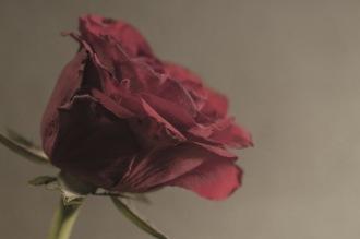 Red rose - fotograf Jimmy Gröhn