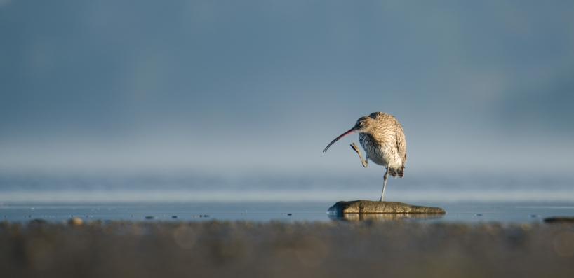 Eurasian Curlew, Ödsmåls Kile - Sweden 2014